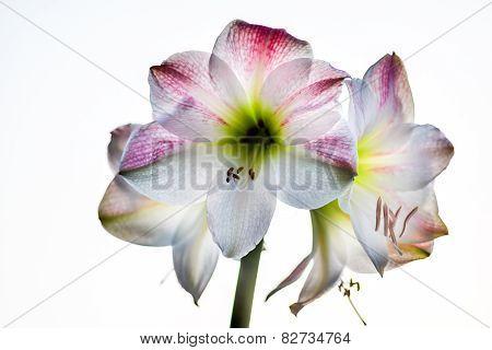 Closeup Hdr Amarylis Blossom