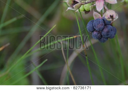 European Dewberry