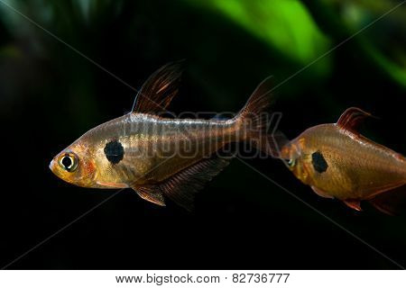 Aquarium Fishes. Rosy Tetra