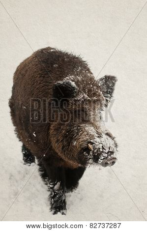 Wild Boar, Pig. Winter. Snow Background. Vintage Paper Background (toned).
