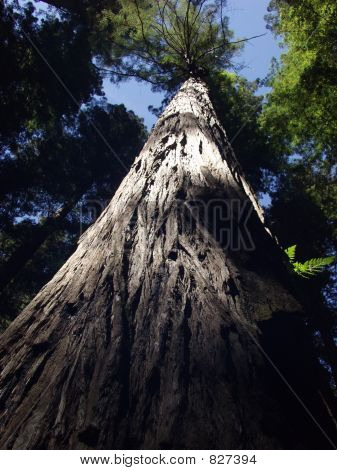 Giant of the Redwood