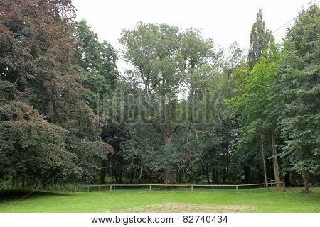 Natural Monument Ash