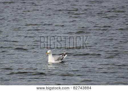 Swimming Herring Gull