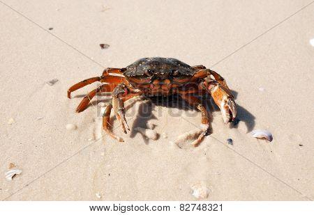 The Defender Crab