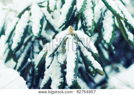 Rhododendron bud with leaves, snow covered. Winter season