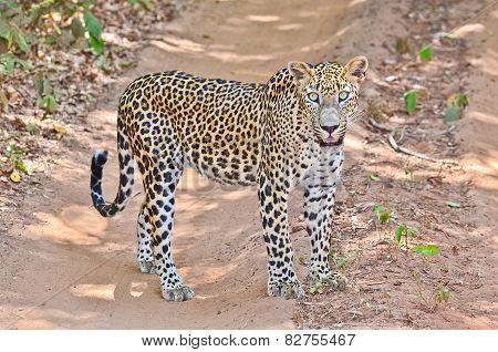 Sri Lankan Endemic Leopard