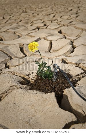 Yellow Flower Cracked Soil Irrigation