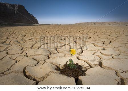 Flor amarilla agrietado suelo