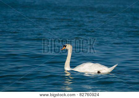 Mute Swan With Dark Blue Water