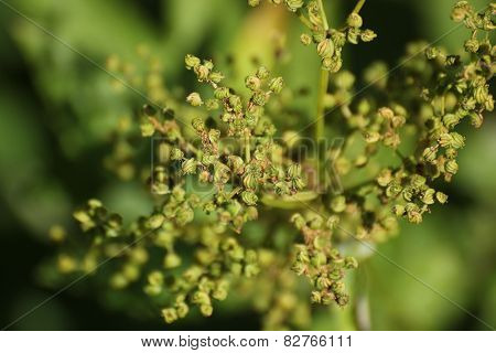 Meadowsweet Fruits