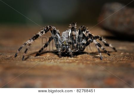 Cross Spider On The Ground