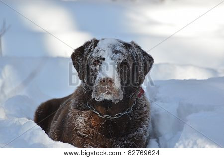 Chocolate Labrador in snow