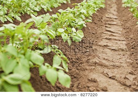 Crops - Potatoes Growing In Rows