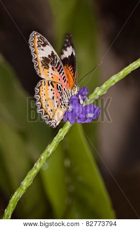 Monarch Butterfly On A Orange Flower, Danaus Plexippus
