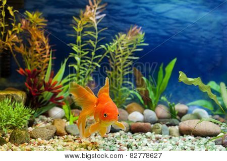 Aquarium Native Gold Fish