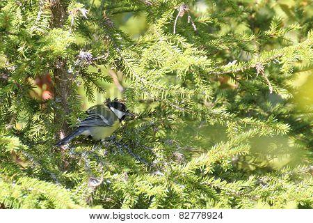 Great Tit In Spruce