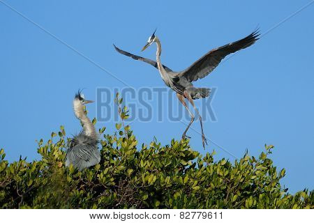 Great Blue Heron Flying To The Nest
