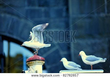Some sea gulls together and one is ready to fly