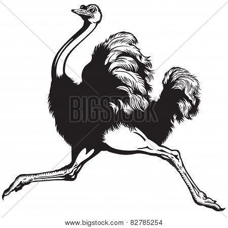 ostrich black and white