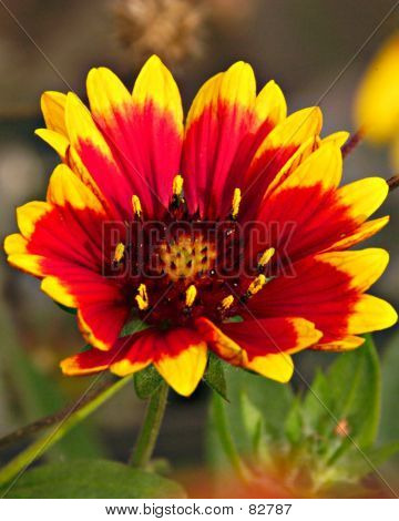 Indian Blanket Daisy