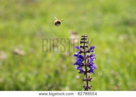 Biene fliegt zu Blume