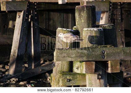 Herring Gull On Wooden Beam