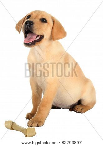 Happy Labrador Puppy