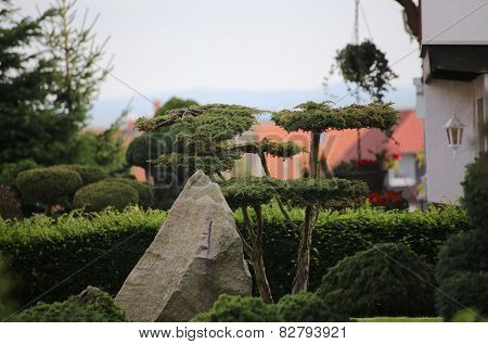 Conifer Bonsai