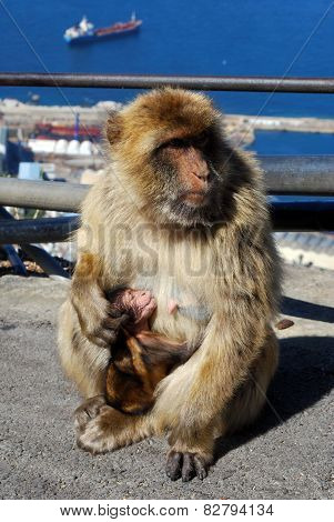 Barbaby Ape and Baby, Gibraltar.