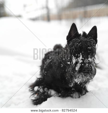 Terrier In Snow