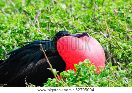 Red Throated Frigate Birds