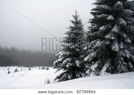 snow-capped spruces in Carpathian mountains
