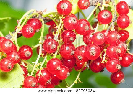 Big bunch of red currant in the garden