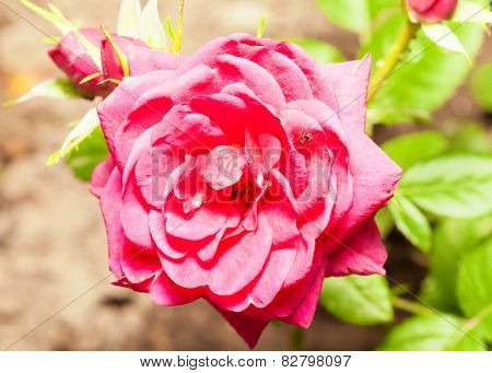 Big beautiful pink rose and small ant