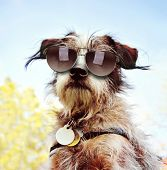 picture of chihuahua mix  - a cute chihuahua terrier mix with sunglasses on at a park or backyard  - JPG