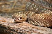 foto of venomous animals  - Uracoan Rattlesnake Crotalus durissus vegrandis rattle snake - JPG