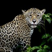 stock photo of leopard  - Leopard portrait animal wildlife black color background - JPG