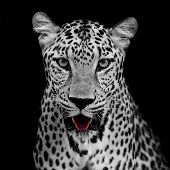 pic of leopard  - Leopard portrait animal wildlife on black color background - JPG