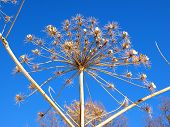 stock photo of parsnips  - Cow parsnip against the blue sky in winter - JPG