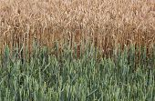 stock photo of century plant  - Wheat field with young and ripe plants side by side - JPG