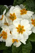 stock photo of cowslip  - particular of  some white primroses in a small vase - JPG