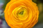 picture of yellow  - Yellow helichrysum flower beautiful golden yellow on a blurred background - JPG