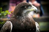 stock photo of buzzard  - Birds of prey - JPG