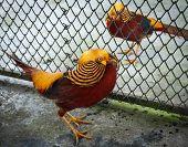 pic of pheasant  - Image of a pheasant Koh Samui Thailand  - JPG