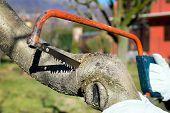 picture of prunes  - Man pruning peach - JPG