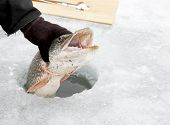 image of ice fishing  - Northern Pike being pulled through the hole while ice fishing - JPG