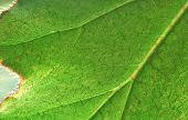 picture of villi  - Part of a large green leaf a one plant - JPG