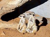 pic of meerkats  - Two cute meerkats looking in same direction - JPG