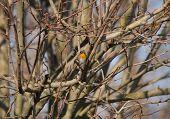 foto of robin bird  - A bird robin alone on the tree - JPG