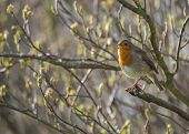 stock photo of red robin  - Robin Red Breast spotted in National Botanic Gardens Dublin Ireland - JPG